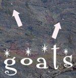 aloof goats