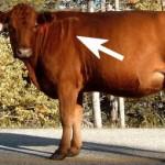 Cow Pi?