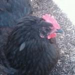 Kenzo Chicken