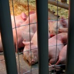 baby pigs at the York Fair