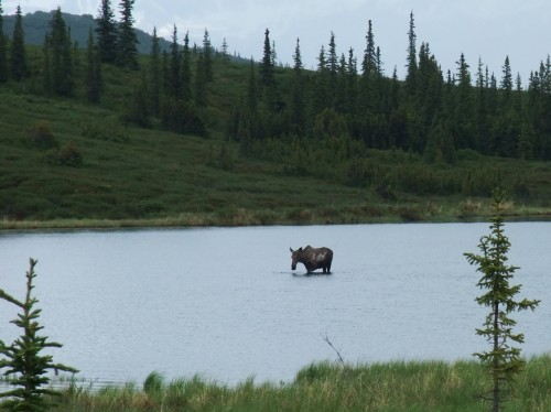 moose in wonder lake