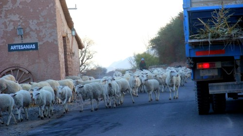 Sheep outside Cachi