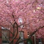 Fairmount cherry trees