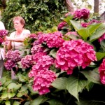 Absecon's famous hydrangeas