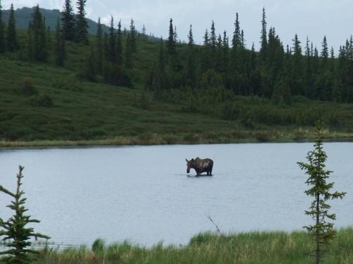 moose in wonder lake